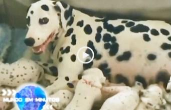 Cadela Dalmata bate recorde ao dar à luz em Portugal