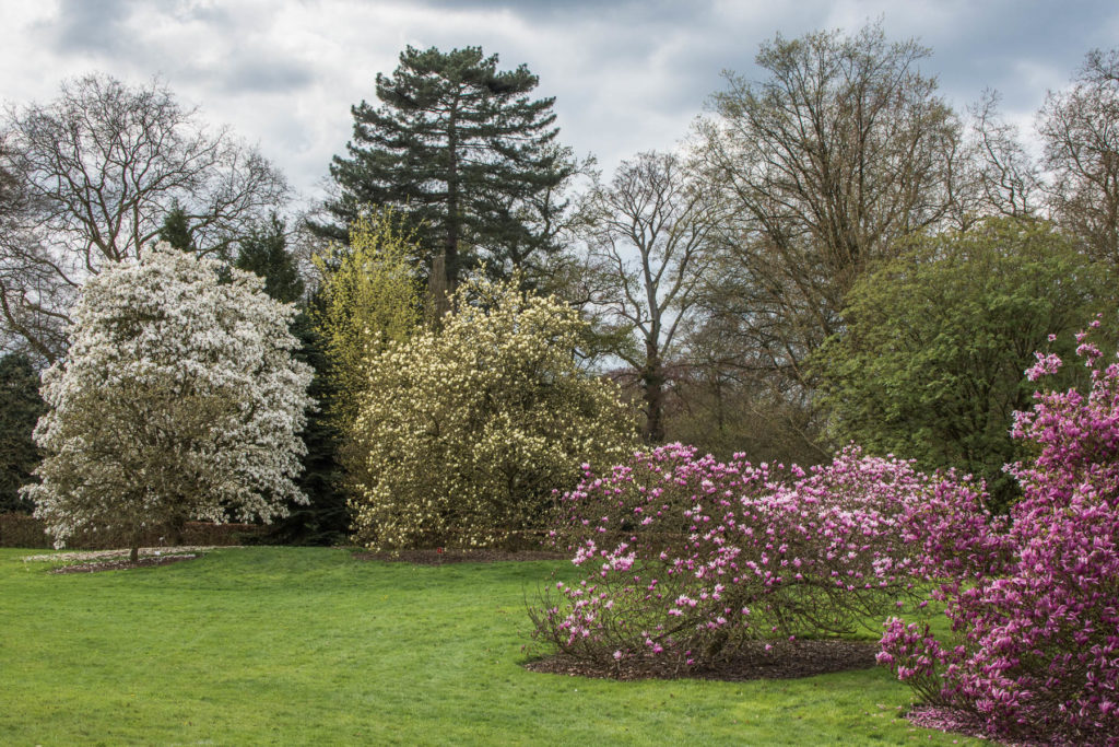 Many different varieties of Magnolia trees bloom in Arboretum Wespelaar each April. Easily accessible by public transport or car, it is a great trip from Brussels.