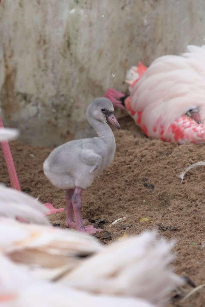 filhote-flamingo-parque-das-aves