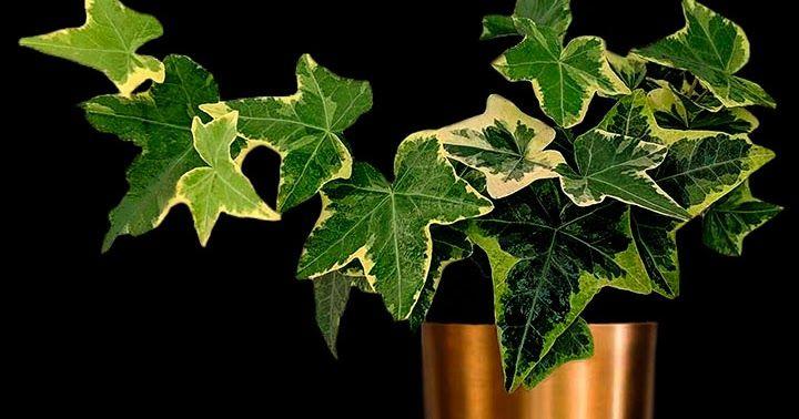 Planta Hera
