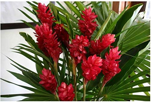 Planta Alpínia