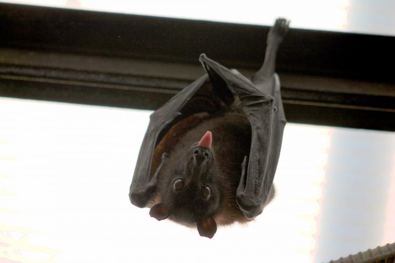 Morcego vírus da raiva. Foto: Pixabay