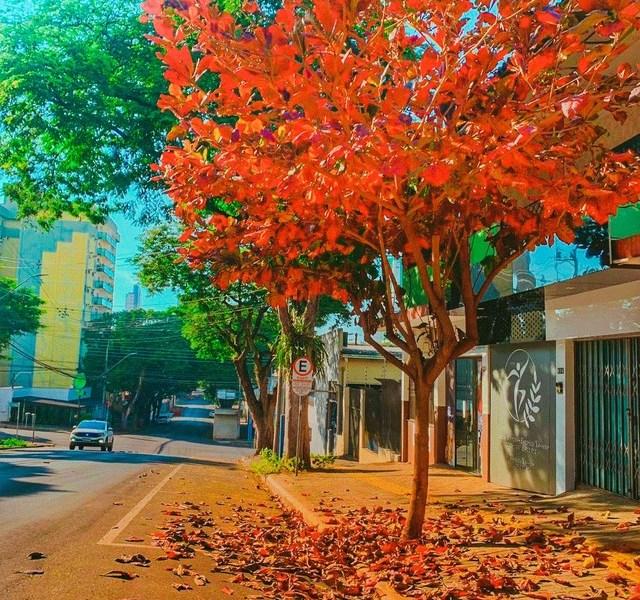 árvore no centro de Foz do Iguaçu