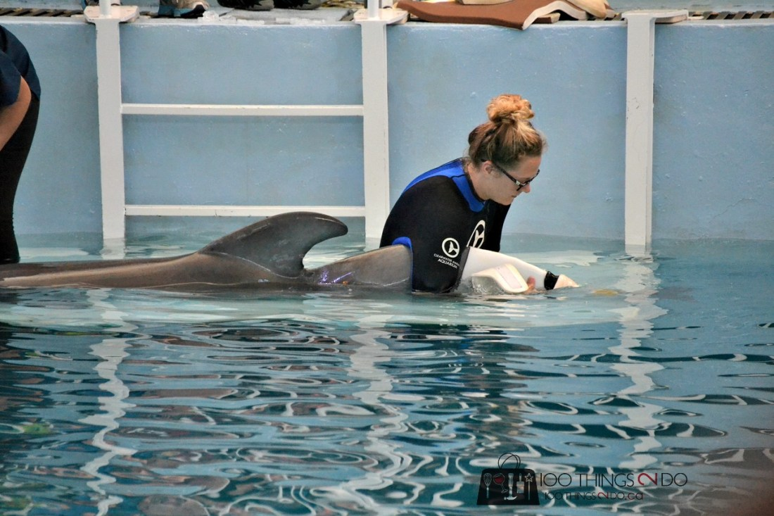 Winter the dolphin having her prosthetic tail put on