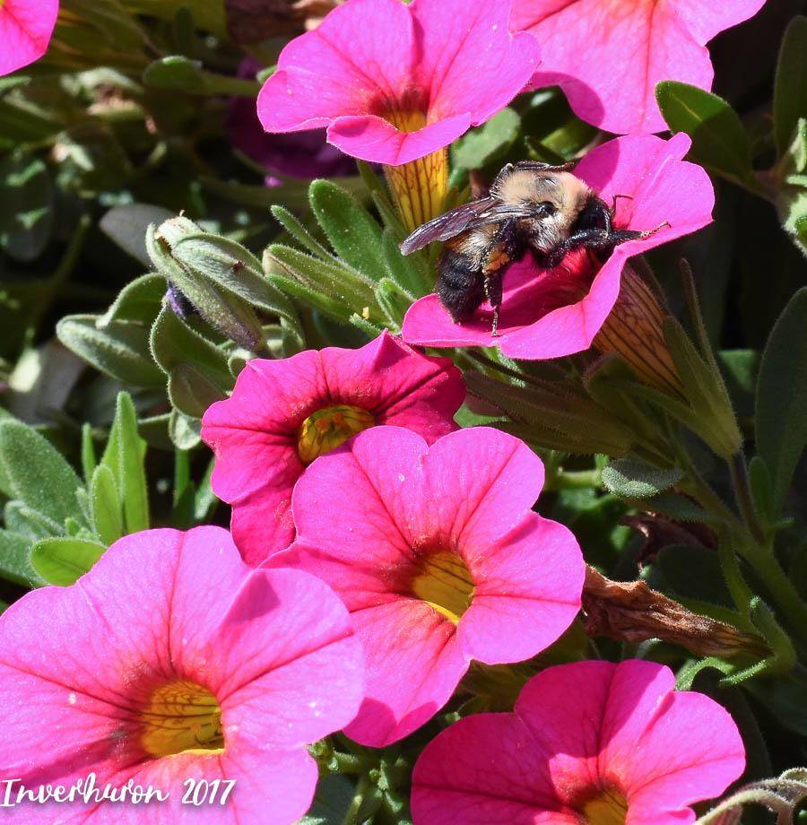 Bumblebee, Cottage living, Inverhuron, Lake Huron, beach, Kincardine, summer vacation