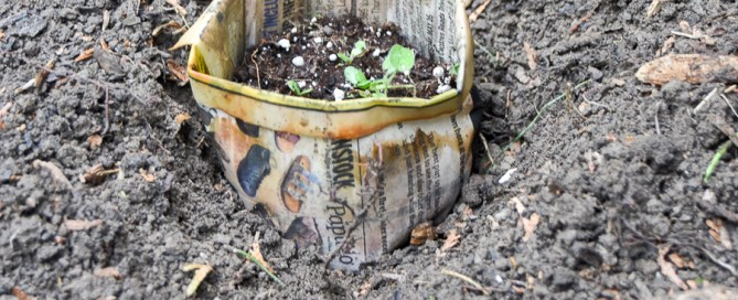 Starting seeds in newspaper pots, planting seeds, biodegradable pots, plantable pots