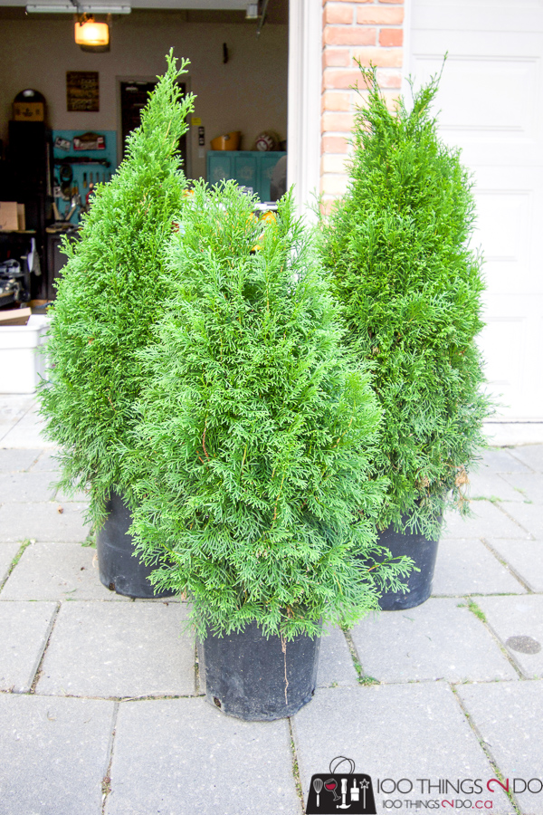 Emerald cedars in pots, Cedars in planters, planting evergreens in pots, planting cedars in pots, evergreen planters