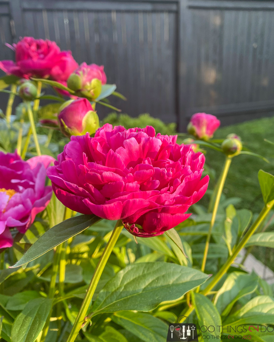 peony against a black fence