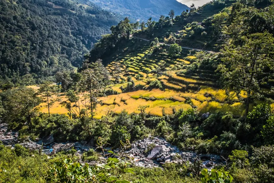 Annapurna rice fields