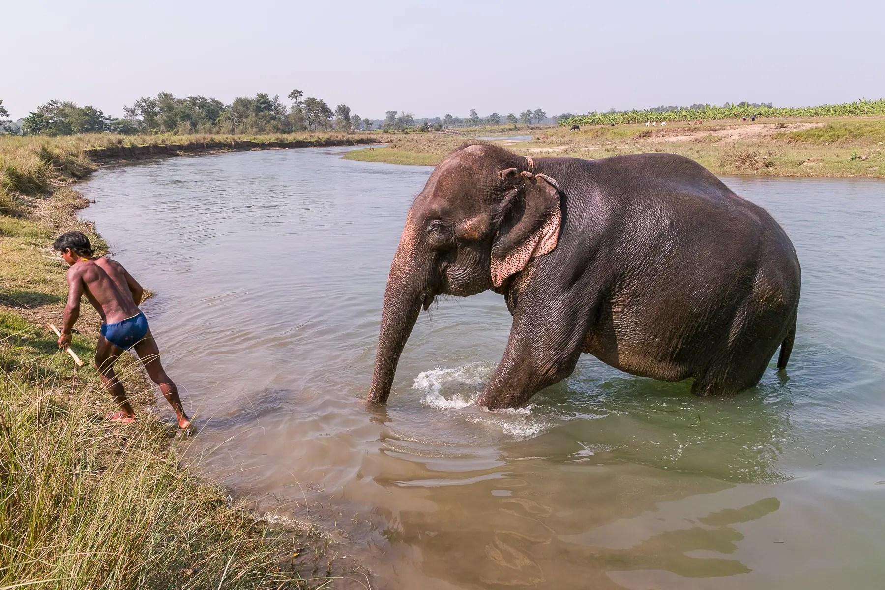 Elephant, Chitwan, Nepal
