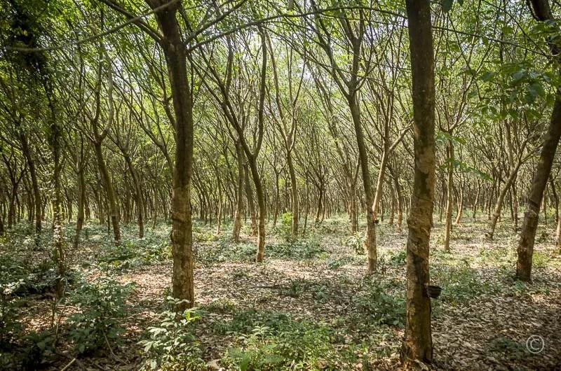 Rubber Tree Plantation