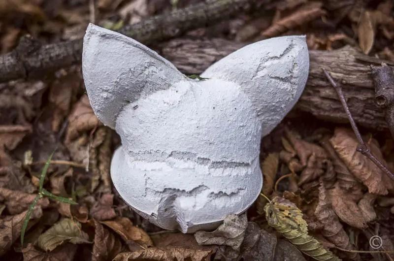 Rabbit Mushroom