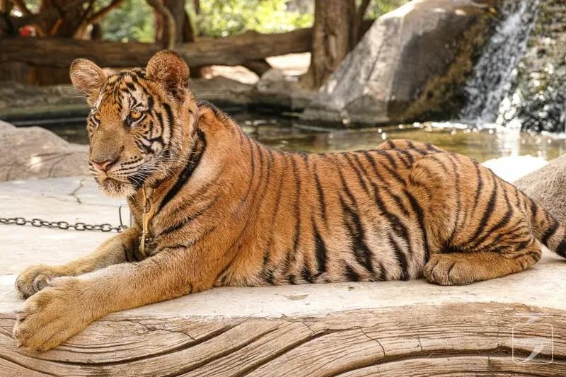 Jumpy, the tiger