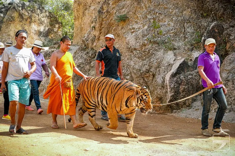Monk and stuff walking a tiger