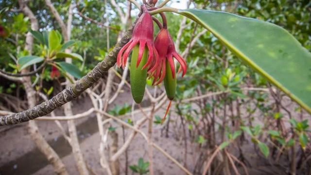 Mangrove flowers