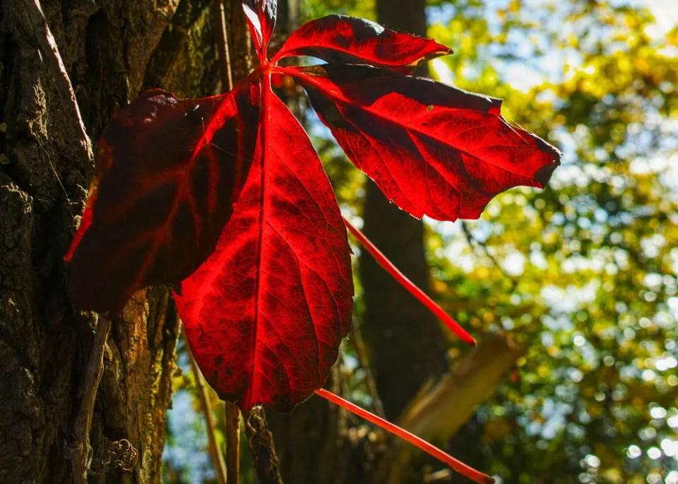 Backlit red leaves