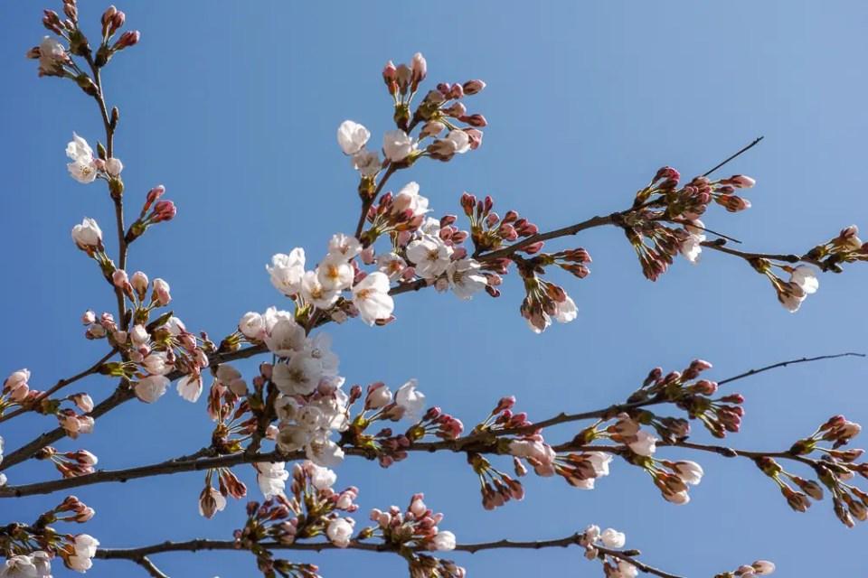 Sakura Toronto