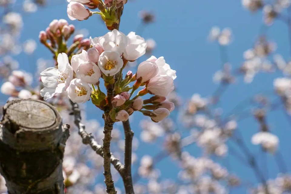 Beautiful cherry blossoms - High Park, Toronto