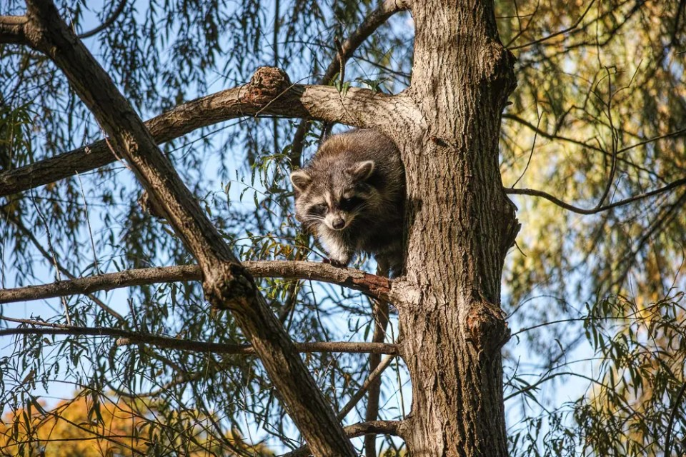 Racoon in the tree