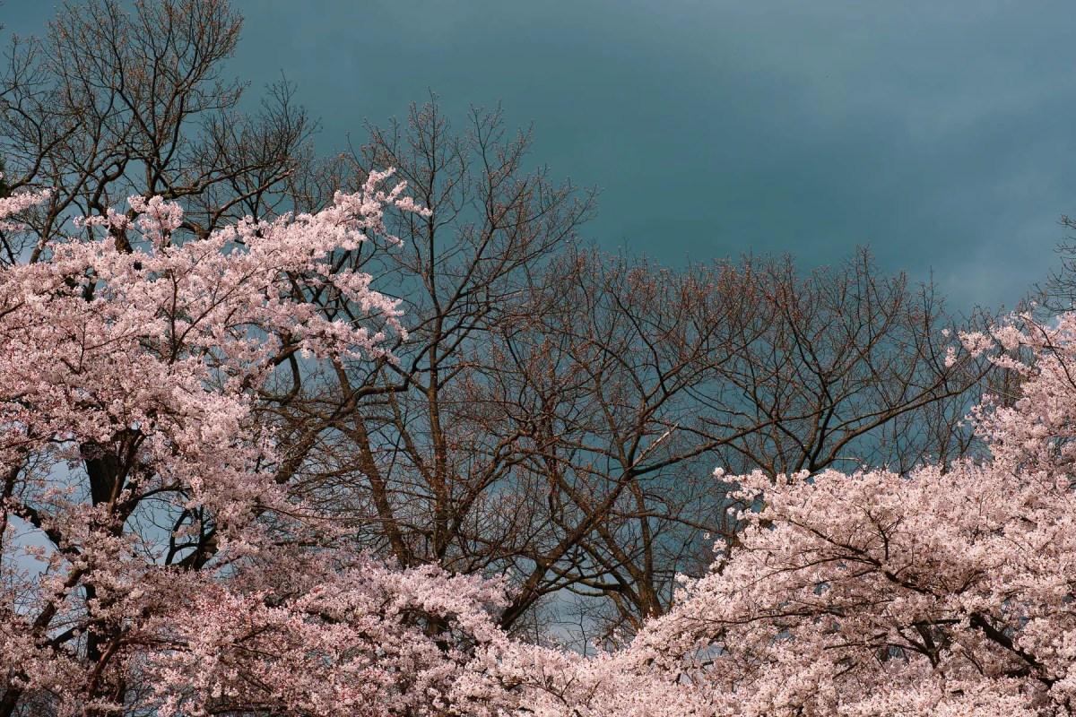 Cherry blossoms, High Park Toronto