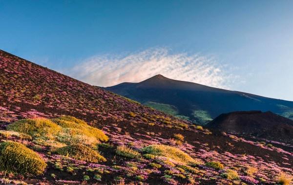 Un tappeto di Saponaria dell'Etna