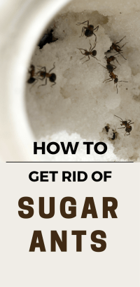 [how to get rid of ants in kitchen]
