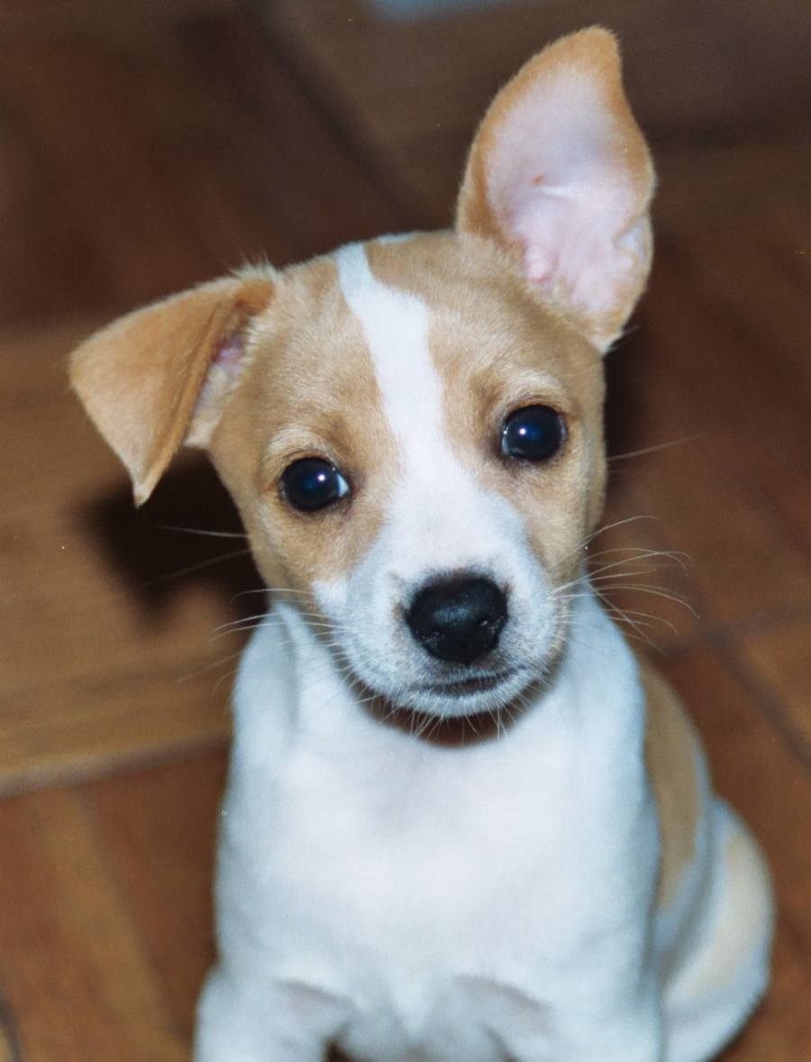 Toy Rat Terriers For Sale : terriers, Terrier, Info,, Temperament,, Care,, Puppies,, Pictures