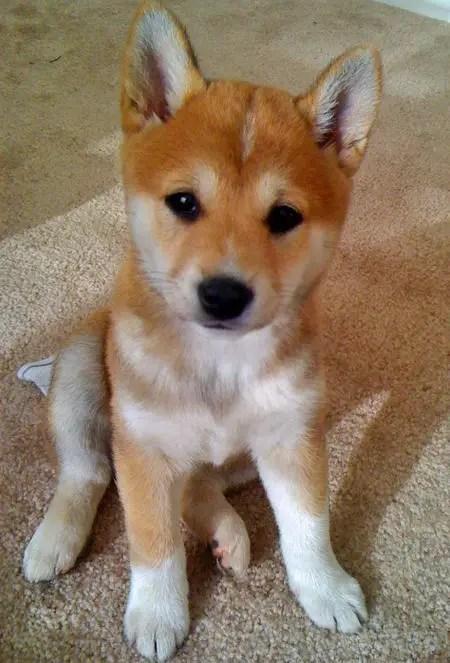 Mini Shiba Inu For Sale : shiba, Shiba, American, Eskimo, Facts,, Temperament,, Training,, Puppies,, Pictures