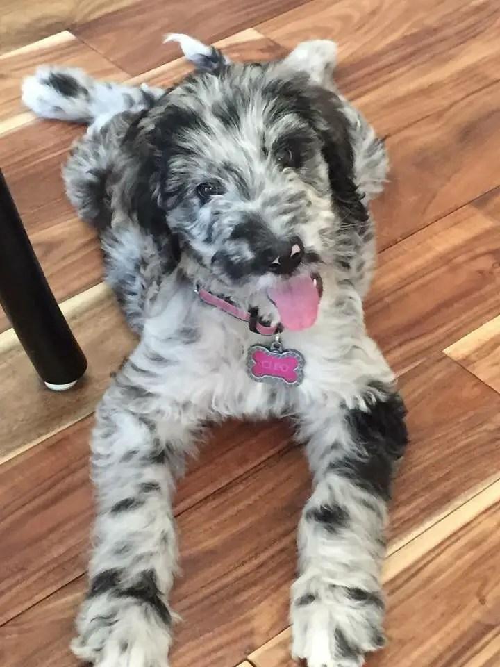 Dane Poodle Mix : poodle, Great, Danoodle, (Great, Poodle, Info,, Temperament,, Puppies,, Pictures