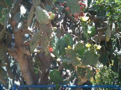 A_blooming_cactus_in_Beersheba_Israel_IMG_8177