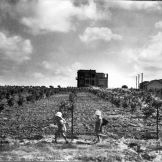 A_young_orchard_on_Moshav_Bnei_Brak._1928_(id.15608574)