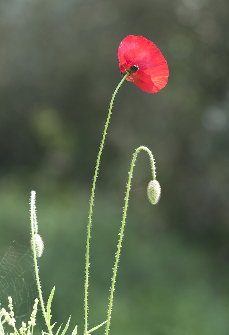 Papaver_sp_-_Corn_poppy_07