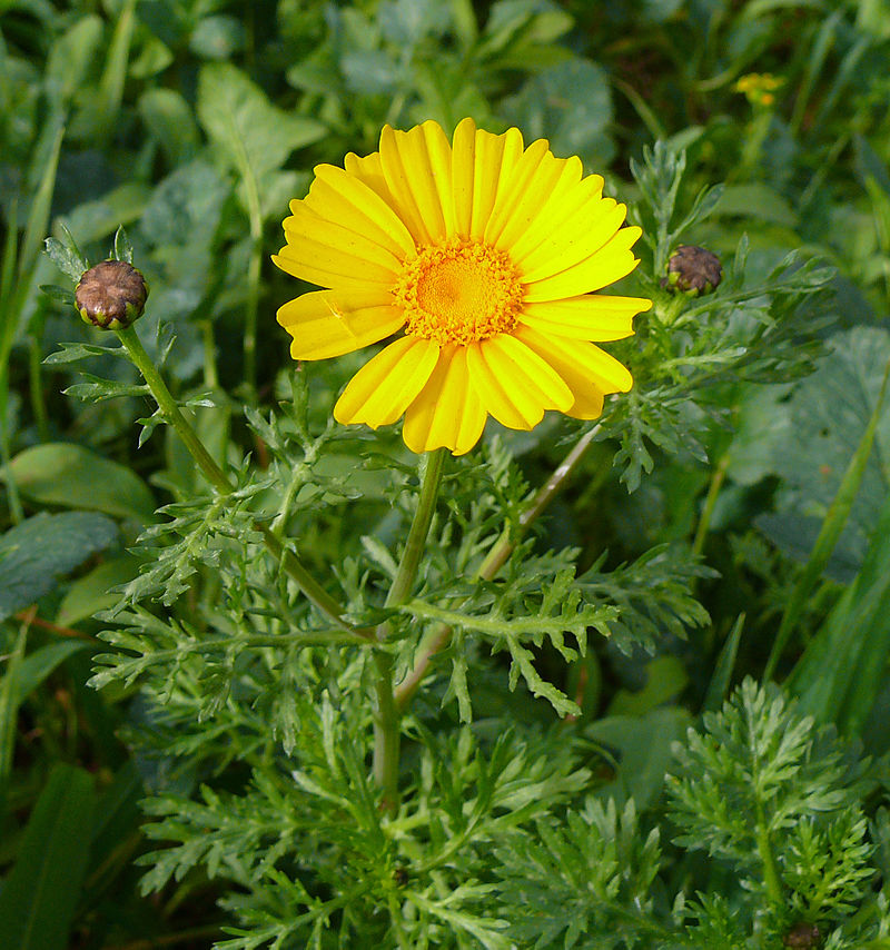 Chrysanthemum coronarium Chartzit24-1-09