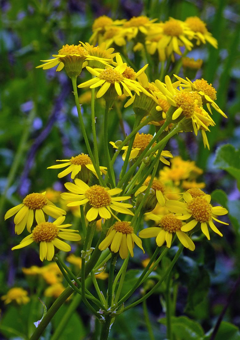 Spring Groundsel -_Nicholas_T_-_Clustered
