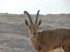 Nubian Ibex 3