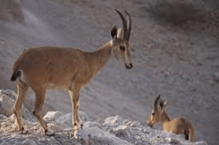 Nubian Ibex 4