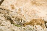 Nubian Ibex 5