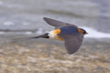 Red Rumped Swallow 2