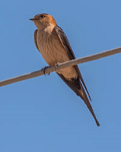 Red Rumped Swallow 3