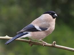 Trumpeter Finch 1