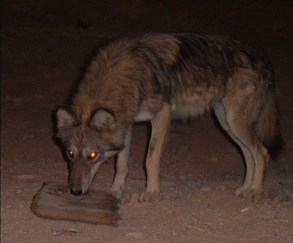 Wolf_in_Arava_Desert