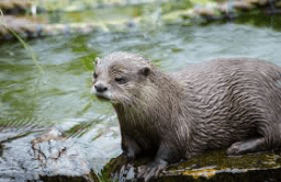 Eurasian Otter 2