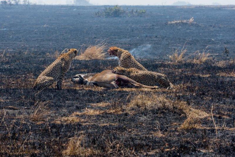 Обяда на стадо гепарди в Масай Мара, Кения