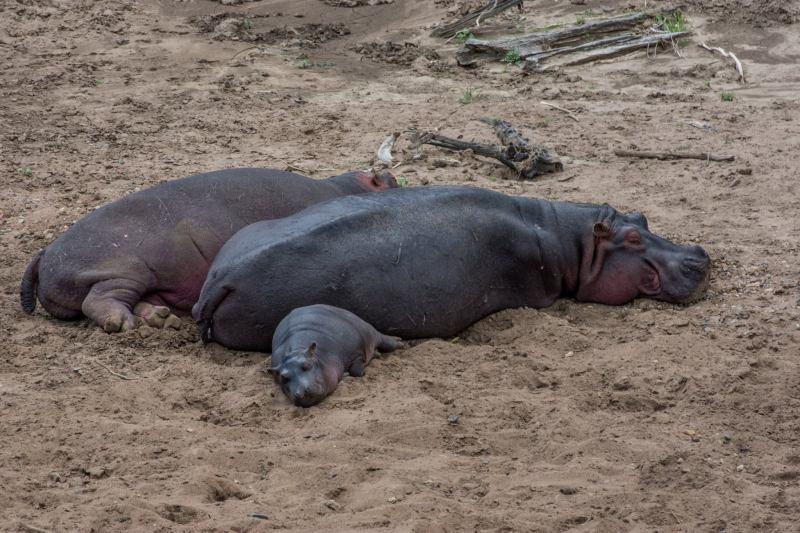 Хипопотами на припек на брега на река Мара, Кения