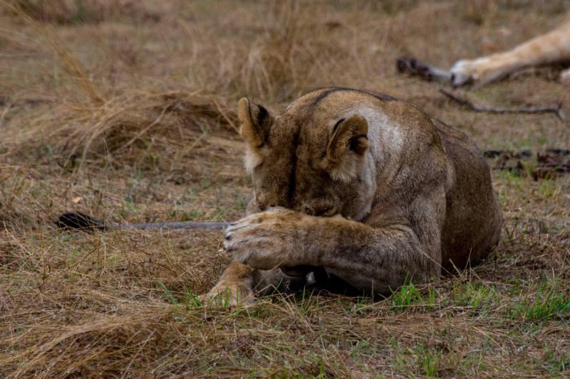 Срамежлива лъвица в Масай Мара, Кения