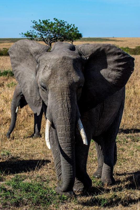 Слон в Масай Мара, Кения