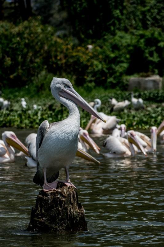 Птички по брега на езерото Найваша, Кения