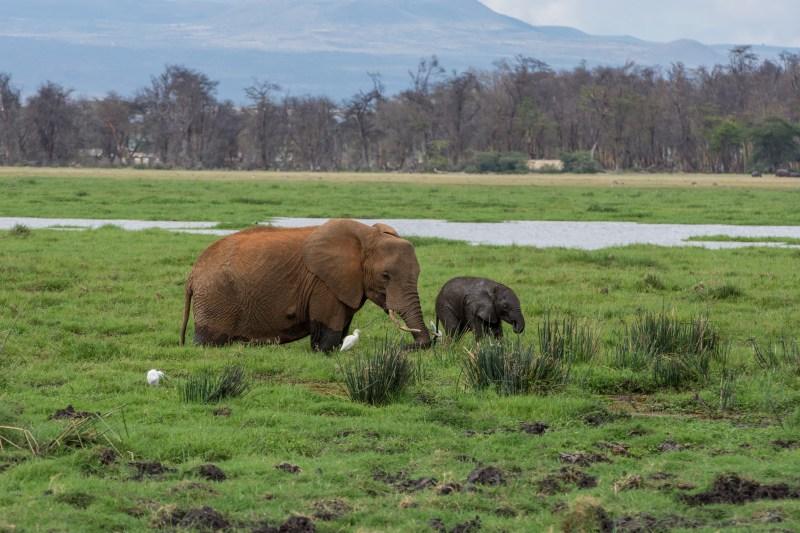 Слонове в национален парк Амбосели, Кения