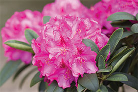 rhododendron_$
