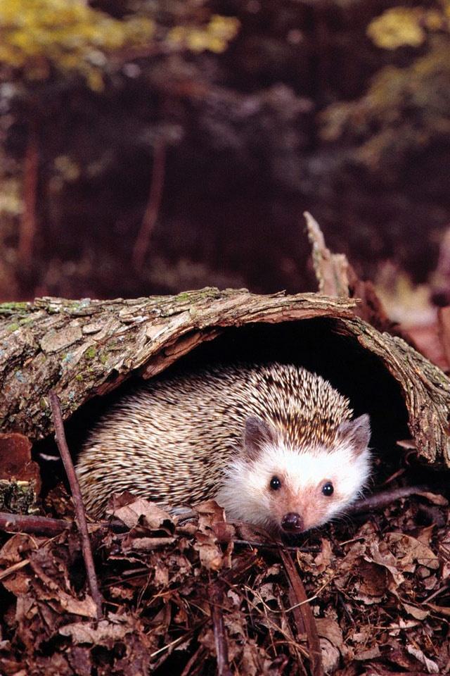 Cute Sweet Baby Hd Wallpaper Animals Hedgehog Hiding Out Ipad Iphone Hd Wallpaper Free